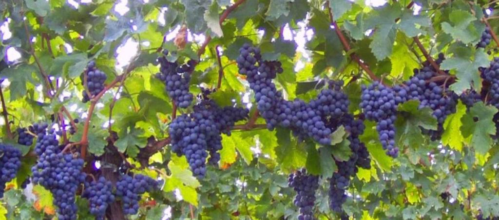 Winediffusion